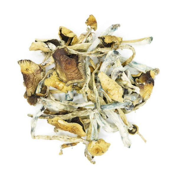 Buy Mushrooms – Golden Teacher online Canada